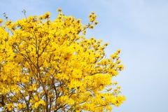 黄色花有蓝天背景在庭院里 库存图片
