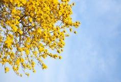 黄色花有蓝天背景在庭院里 免版税库存图片
