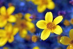 黄色花有蓝色背景 免版税库存图片