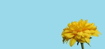 黄色花有蓝色背景 库存照片