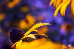黄色花有紫色模糊的背景 免版税库存照片