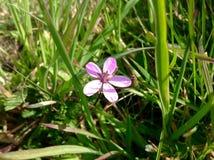 紫色花有绿草背景 免版税库存图片
