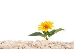 黄色花本质上 它在岩石的岩石增长 查出 图库摄影