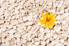 黄色花本质上 它在岩石的岩石增长 图库摄影