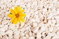 黄色花本质上 它在岩石的岩石增长 免版税图库摄影