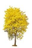黄色花树,金喇叭, tabebuia,金子, isol树  免版税库存照片