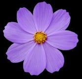 紫色花樱草属 与裁减路线的黑色被隔绝的背景 特写镜头 库存照片