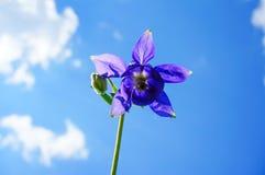 紫色花欧洲鸽子似(寻常的Aquilegia)在sunn 免版税库存图片