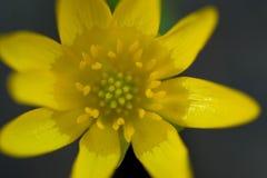 黄色花毛茛 库存照片