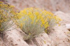 黄色花沙漠 库存照片
