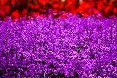 紫色花海  库存图片
