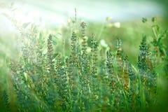 绿色花照亮与太阳光芒 免版税库存照片