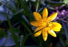 黄色花特写镜头在一个明亮的早晨晴天 免版税库存图片