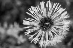 黑色花白色 图库摄影
