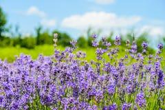 紫色花的五颜六色的领域 库存图片