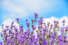 紫色花的五颜六色的领域 图库摄影