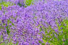 紫色花的五颜六色的领域 免版税库存图片