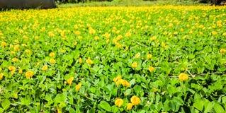 黄色花的域 免版税图库摄影