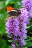紫色花的红蛱蝶蝴蝶 免版税库存照片