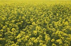黄色花的领域关闭  免版税库存照片