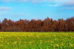 黄色花的领域 库存照片