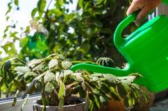 绿色花盆仙人掌,多汁在窗台浇灌了与gr 库存图片