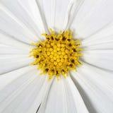 黄色花粉和白色瓣样式的 免版税库存照片