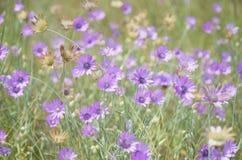 紫色花背景在绿色草甸的狂放的 免版税图库摄影