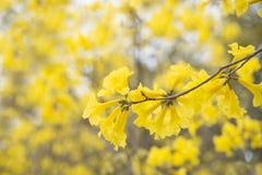 黄色花背景, Tabebuia chrysantha尼柯尔斯,脂浊Pu 免版税库存图片