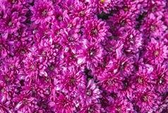 紫色花背景 免版税库存照片