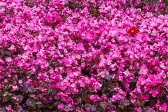 紫色花背景 免版税库存图片