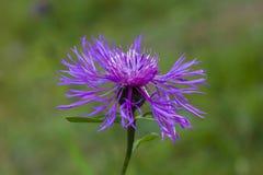 紫色花背景 库存图片