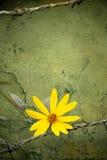 黄色花自由的标志在葡萄酒脏的高明的水泥墙壁纹理,葡萄酒口气样式的 库存图片