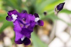 紫色花虹膜,被连接它的瓣 通过孔您能看到三条带中部  免版税库存照片