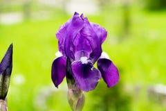 紫色花虹膜 图库摄影