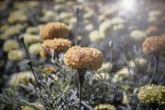 黄色花,万寿菊 库存照片