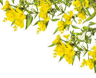 黄色花,壁角框架,隔绝在白色 图库摄影