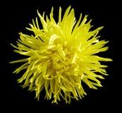 黄色花,染黑与裁减路线的被隔绝的背景 特写镜头没有阴影 图库摄影