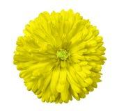 黄色花,白色隔绝了与裁减路线的背景 特写镜头 免版税库存图片