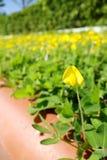 黄色花,花马花生花 免版税库存照片