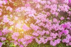 紫色花,装饰庭院的五颜六色的九重葛布什 免版税库存照片