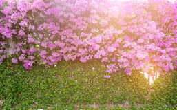 紫色花,装饰庭院的五颜六色的九重葛布什 库存图片