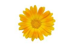 黄色花,金盏草 免版税库存照片