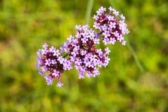 紫色花,马鞭草属植物bonariensis 库存图片