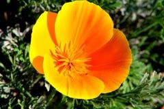 黄色花, Peñalolen,圣地亚哥智利 库存图片