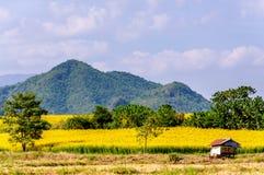 黄色花(猪屎豆属juncea L ) 与山的领域 库存图片