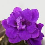 紫色花紫罗兰 免版税库存图片