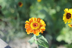 黄色花以绿色 免版税库存照片