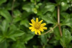 黄色花以绿色 免版税库存图片