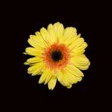 黑色花黄色 库存图片